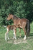 Das New Forest Pony_16