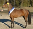 Das New Forest Pony_1
